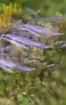IMPRESSIONISTIC;LENS_CREATION;DIGITAL_ART;ABSTRACT;FLOWERS;CHICORY;VERTICAL
