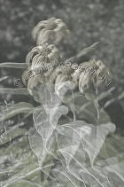 IMPRESSIONISTIC;LENS_CREATION;ABSTRACT;FLOWERS;BLACK_AND_WHITE;VERTICAL