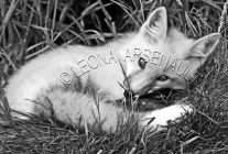 MAMMALS;LAND_MAMMALS;FOXES;BABIES;PUPS;BLACK_AND_WHITE;HORIZONTAL