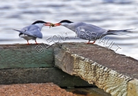 COMMON_TERN;TERNS;BIRDS;SEABIRDS;HORIZONTAL