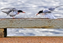 COMMON_TERNS;TERNS;BIRDS;SEABIRDS;HORIZONTAL
