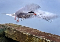 COMMON_TERN;TERN;BIRD;SEABIRD;HORIZONTAL