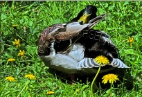 MALLARD_DUCK;DUCK;WATERFOWL;BIRD;HORIZONTAL