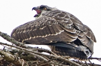 OSPREYS,_BIRDS;BIRDS_OF_PREY;HORIZONTAL