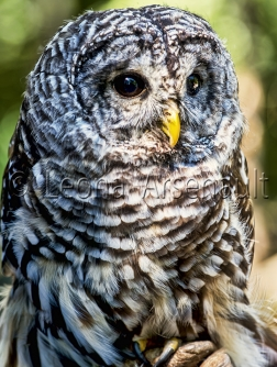 BIRDS;SNOWY_OWL;OWL;BIRDS_OF_PREY;STRIGIFORMES;VERTICAL;