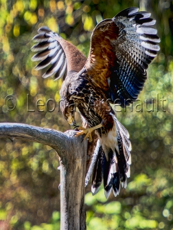 BIRDS;HARRIS_HAWK;HAWK;BIRDS_OF_PREY;RAPTOR;VERTICAL;