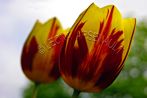 TULIPS;FLOWERS;RED;YELLOW;HORIZONTAL