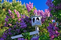 FLOWERS;LILACS;BIRD_HOUSES;PINK;HORIZONTAL