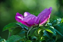 FLOWERS;WILD_ROSES;ROSES;PINK;HORIZONTAL