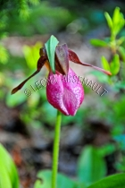FLOWERS;LADY_SLIPPERS;PINK;VERTICAL