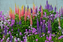 FLOWERS;LUPINS;PHLOX;LAVENDER;WHITE;YELLOW;PEACH;PURPLE;PINK;HORIZONTAL