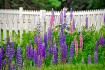 LUPINS;FLOWERS;FENCE;PURPLE;PINK;HORIZONTAL