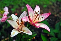 LILIES;FLOWERS;WHITE;RED;;PINK;HORIZONTAL