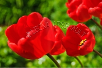 TULIPS;FLOWERS;RED;HORIZONTAL