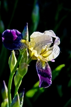 IRISES;FLOWERS;WHITE;PURPLE;YELLOW;VERTICAL