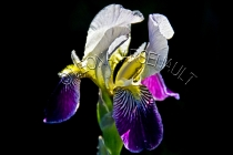IRISES;FLOWERS;WHITE;YELLOW;PURPLE;HORIZONTAL