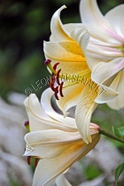 LILIES;FLOWERS;WHITE;YELLOW;VERTICAL