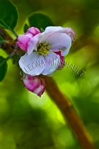 APPLE_BLOSSOMS;FLOWERS;WHITE;PINK;VERTICAL
