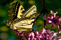 BUTTERFLY;BUTTERFLY;INSECT;INVERTEBRATE;HORIZONTAL