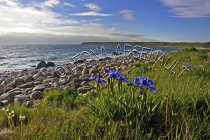 CANADA;NEWFOUNDLAND;GROS_MORNE_NATIONAL_PARK;LOBSTER_COVE;ROCKS;SHORES;FLOWERS;W
