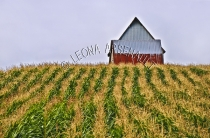 CANADA;PRINCE_EDWARD_ISLAND;QUEENS_COUNTY;SUMMERFIELD;FARMING;CORN_FIELD;BARN;BU